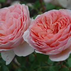 Foto: Roos 'Abraham Darby'