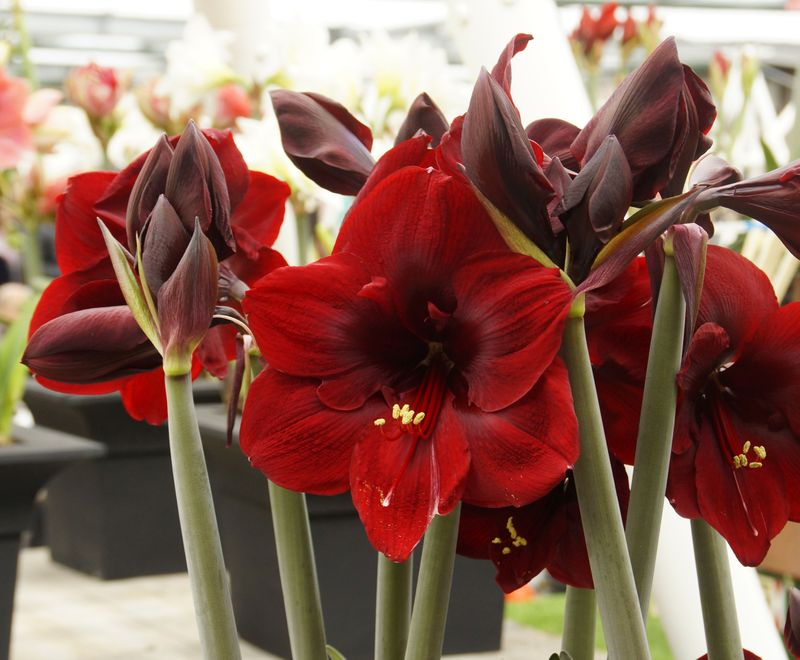 Foto: Amaryllis 'Queen of the Night'