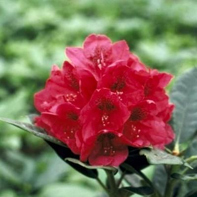 Foto: Rododendron 'Lord Roberts'