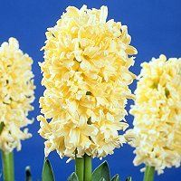 Foto: Hyacint 'Yellow Queen'