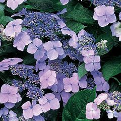 Foto: Hortensia 'Blue Wave'