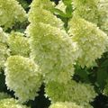 Foto: Hortensia 'Magical Candle'