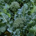 Foto: Broccoli calabrese 'Green Sprouting'