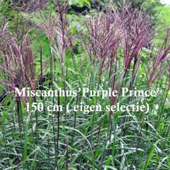 Foto: Prachtriet 'Purple Prince'