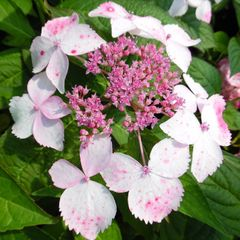 Foto: Hortensia 'Grayswood'