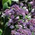 Foto: Hortensia 'Spinners'