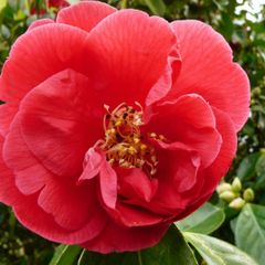 Foto: Camelia 'Red Ensign'