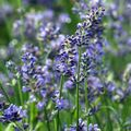 Foto: Lavendel 'Blue Chip'