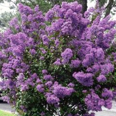 Foto: Lagerstroemia 'Petite Orchid'