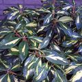 Foto: Rododendron 'Goldfinger'