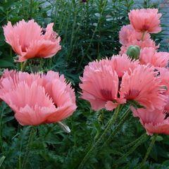 Foto: Oosterse Papaver 'Pink Ruffles'