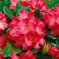 Foto: Rododendron 'Morgenrot'