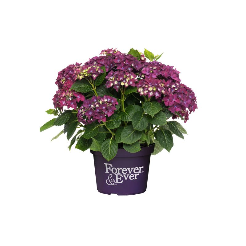 Foto: Hortensia 'Forever and Ever Purple'