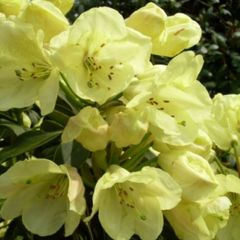 Foto: Rododendron 'Stadt Westerstede'