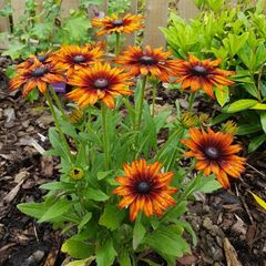 Foto: Zonnehoed 'Summerina Orange'