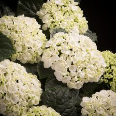 Foto: Hortensia 'Curly Wurly White'