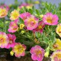 Foto: Million Bells 'Chameleon Double Pink-Yellow'