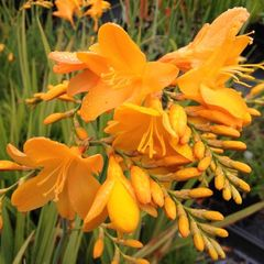 Foto: Montbretia 'Yellow Emberglow'
