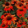Foto: Zonnehoed 'Kismet Intense Orange'