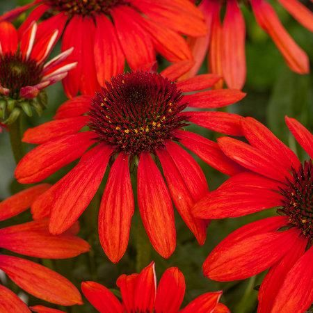Foto: Zonnehoed 'Red Pearl'