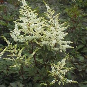 Foto: Astilbe 'Washington'
