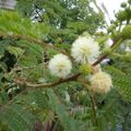 Foto: Witte Mimosa