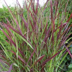 Foto: Vingergras 'Oxblood Autumn'