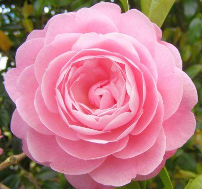 Foto: Camellia 'Pink Perfection'