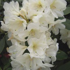 Foto: Rododendron 'Goldfort'