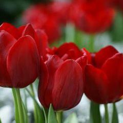 Foto: Tulp 'Red'