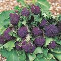 Foto: Broccoli 'Purple Sprouting'