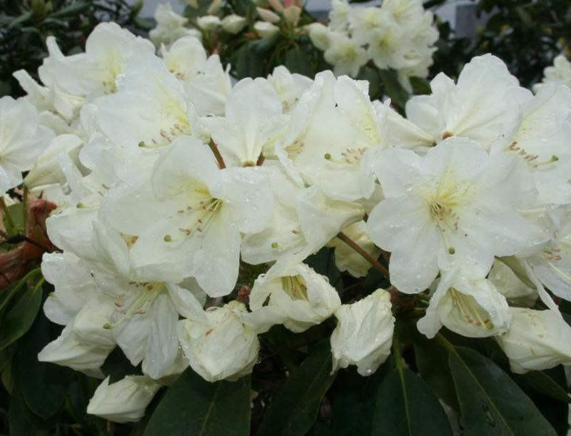 Foto: Rododendron 'Cunningham's White'