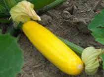 Foto: Courgette 'Yellow'