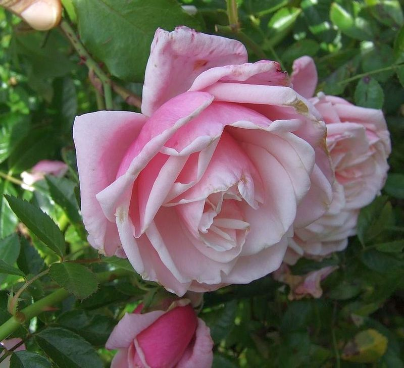 Foto: Roos 'Blossomtime'