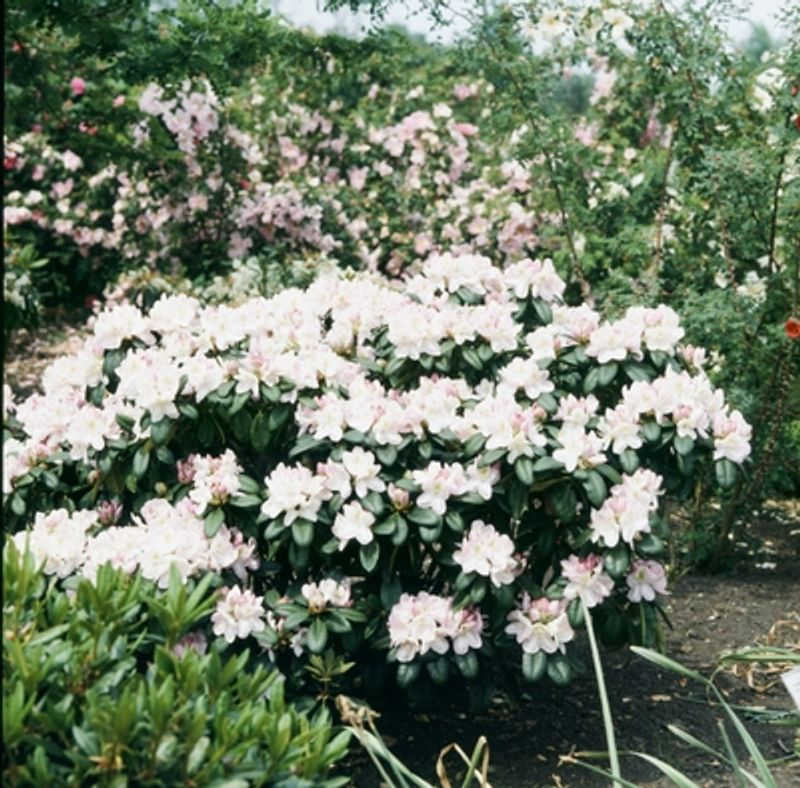 Foto: Rododendron 'Gomer Waterer'