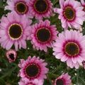 Foto: Struikmargriet 'Reflection Pink'