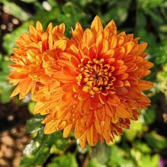 Foto: Chrysant 'Dixter Orange'