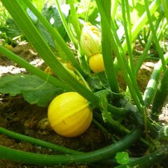 Foto: Courgette 'Summer Ball'