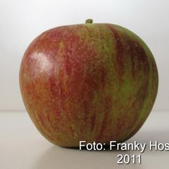 Foto: Appel 'Cox Orange Pippin Willy Mahieu'