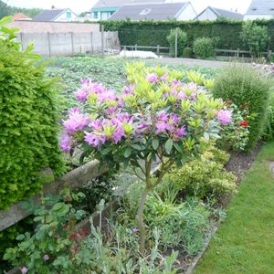 Foto: Rododendron (algemeen)
