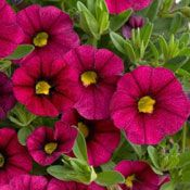 Foto: Million bells 'Noa Mega Magenta'