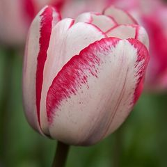 Foto: Tulp 'Playgirl'
