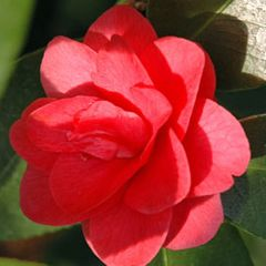 Foto: Camelia 'Lady Campbell'