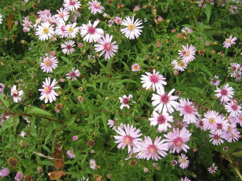 Foto: Aster 'Coombe Fishacre'