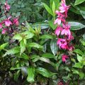 Foto: Lobelia 'Fan Salmon'