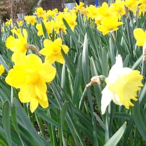 Foto: Narcis 'King Alfred'