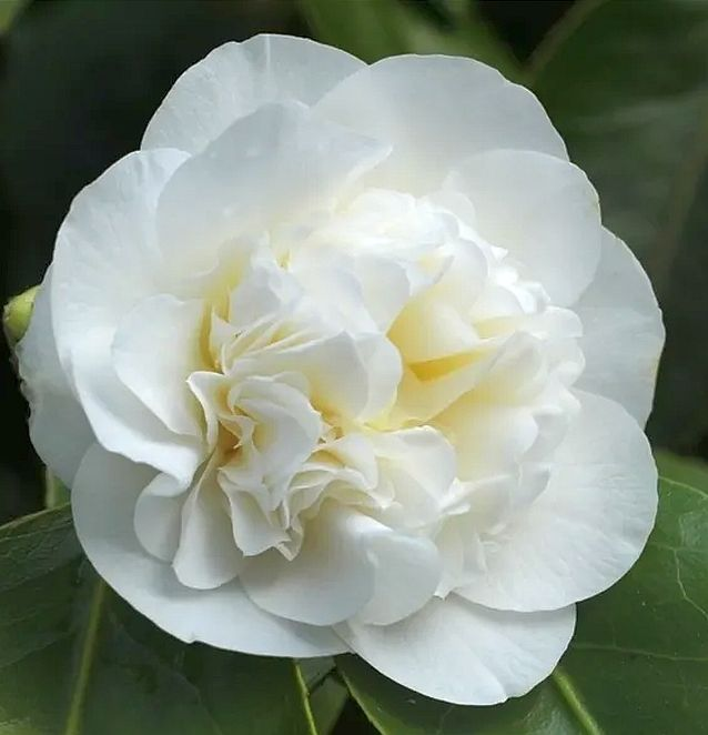 Foto: Camelia 'Powder Puff'