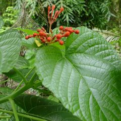 Foto: Clerodendrum