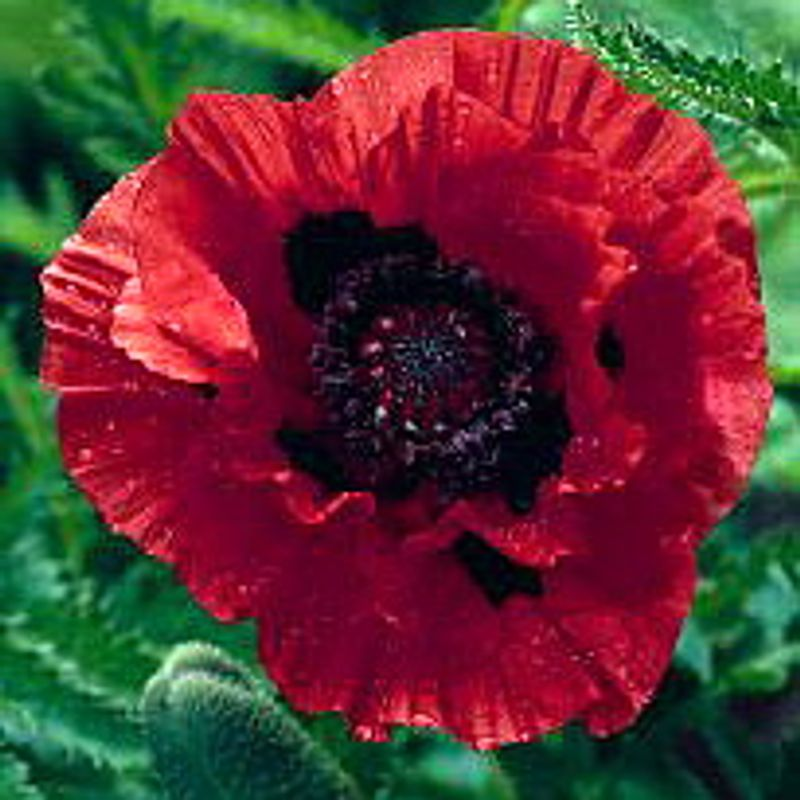 Foto: Oosterse papaver 'Indian Chief'