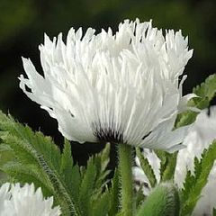 Foto: Oosterse papaver 'White Ruffles'